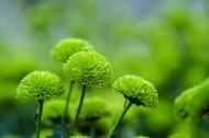 绿菊花图片(10张)