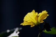 黄色丝瓜花图片(7张)