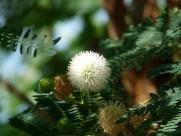 含羞草的花图片(11张)