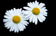 黑色背景下的花朵图片(13张)