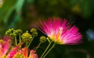 粉色合欢花图片(10张)