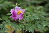 牡丹花图片(22张)