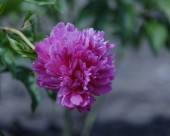 芍药花图片(6张)