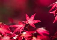 热情如火的红枫图片(13张)