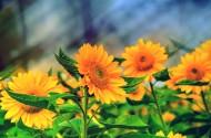 唯美的金葵花图片(12张)