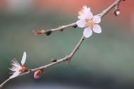 灿烂的桃花图片(12张)