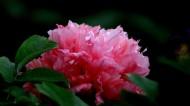 鲜艳牡丹花图片(7张)
