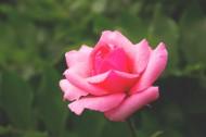 粉红的玫瑰花图片(14张)