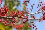 秋天唯美红色相思豆图片(14张)