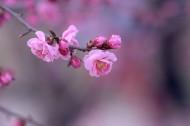 红色梅花图片(12张)
