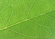 树叶经脉图片(27张)