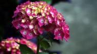 绣球花图片(6张)