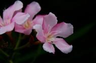 娇羞夹竹桃图片(6张)