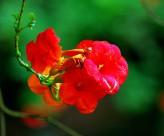红色凌霄花图片(15张)