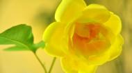 黄玫瑰图片(18张)