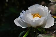 美丽的牡丹花图片(12张)