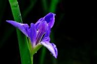 紫色鸢尾图片(14张)