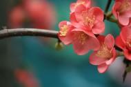 海棠花图片(13张)
