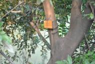 阴香植物图片(4张)