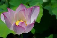 端庄的荷花花卉图片(11张)