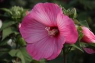 粉色和白色的木槿花图片(6张)