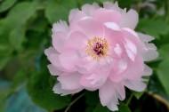 牡丹花图片(15张)