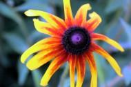 艳丽黑心菊花卉图片(14张)