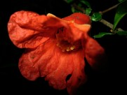 火红的石榴花图片(13张)