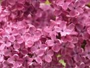 盛开的紫色丁香花图片(18张)
