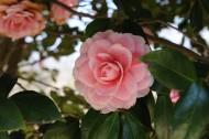 粉红色山茶花高清图片(14张)
