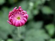 菊花图片(12张)