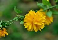 黄色报春花图片(8张)