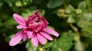 红色小菊花图片(10张)