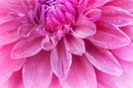 温暖的大丽花图片(14张)