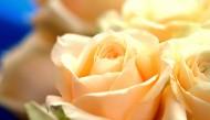 炫彩玫瑰图片(9张)