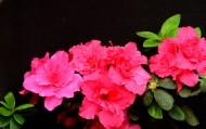 粉红色的杜鹃花图片(5张)