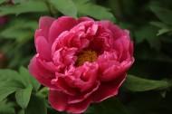 大气华美的牡丹花图片(21张)