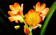 清丽脱俗的君子兰花图片(9张)