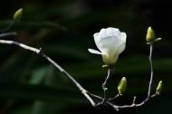 白玉兰图片(8张)