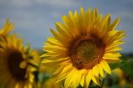 金黄色向日葵图片(11张)