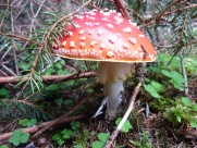 生长在地上的一只红色毒蘑菇图片(12张)