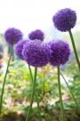 大花葱图片(2张)