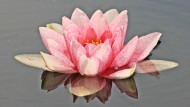 高洁的莲花图片(13张)