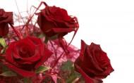 玫瑰花图片(20张)