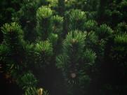 松树的枝头图片(13张)