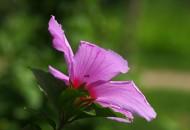 粉色木槿花图片(10张)