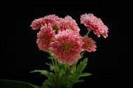 深秋菊花图片(12张)