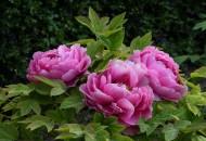 牡丹花图片(14张)
