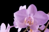 粉色蝴蝶兰图片(12张)