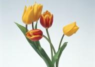 郁金香花束图片(8张)